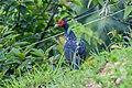 Kalij pheasant (Lophura leucomelanos) in Nepal.jpg