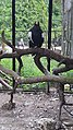 Kaliningrad Zoo - Haliaeetus pelagicus.jpg