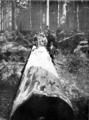 Karri log in Primer of Forestry Poole 1922.png