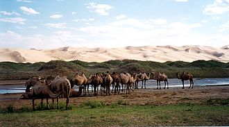 Gobi Gurvansaikhan National Park - Bactrian camels by the sand dunes of Khongoryn Els.