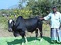Kidaiyan cattle bull.JPG