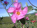 Kielmeyerarubriflora.jpg