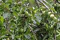 Kirschpflaume Prunus cerasifera.jpg