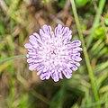 Knautia arvensis in Aveyron (1).jpg
