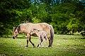 Koniks horses (16994281927).jpg