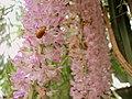 Kopou Orchid Assam India.jpg