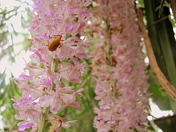 Blooming of Kopou Orchid marks the beginning of the festive season of Bihu in Assam. Kopou Orchid Assam India.jpg