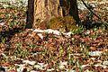 Kvetoucí sněženky v PP Sněženky ve Vysokém lese 25.jpg