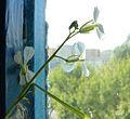 Kwiat rzodkiewki.JPG