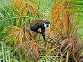 L'Hoest Monkey (Cercopithecus lhoesti) (7076447699).jpg