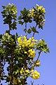 Laburnum anagyroides Columnaris 1zz.jpg