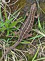 Lacerta agilis (Sand Lizard) female, Molenhoek, the Netherlands - 3.jpg