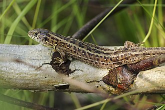 Sand lizard - Image: Lacerta agilis LC0388