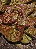 Lactuca sativa 'Yugoslavian Red' Leaf.JPG