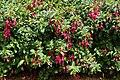 Lady's Eardrops 吊鐘花 (Fuchsia gracilis) - panoramio.jpg