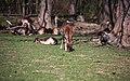 Lainzer Tiergarten März 2014 Damhirsche (Dama dama) 2.jpg
