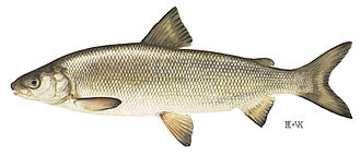 Lake whitefish - Image: Lake whitefish 1