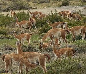 Guanaco - Herd of guanacos