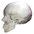 Lambdoid suture - skull - lateral view01.png