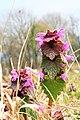 Lamium purpureum ENBLA13.jpg