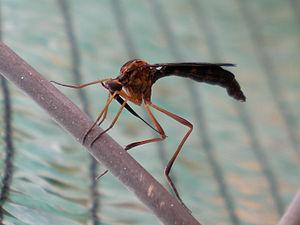 Vermileonidae - Lampromyia sp. (Tàrrega, Catalonia)