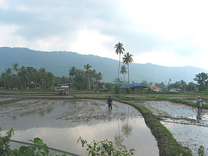 Agriculture in Malaysia - Langkawi Paddy Fields (rice)