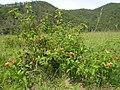 Lantana camara plant NC4.jpg