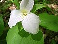 Large-flowered Trillium, Snow Trillium (Trillium grandiflorum) - Flickr - Jay Sturner.jpg