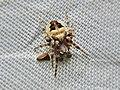 Larinioides patagiatus (Araneidae) - (male subadult), Arnhem, the Netherlands.jpg