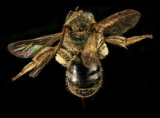 <i>Lasioglossum cressonii</i> species of insect