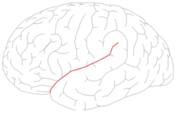 Lateral sulcus.png
