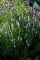 Lavandula angustifolia prg 1.jpg