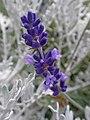 Lavender (27691199924).jpg