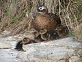 Laysan Ducklings on Midway Atoll National Wildlife Refuge (15181086821).jpg