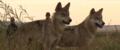 Le dernier loup - Les coulisses - les loups sur le tournage 6.png