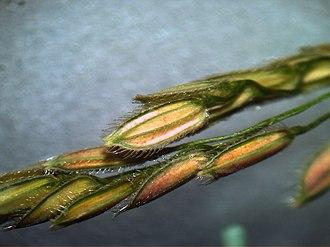 Leersia hexandra - Spikelets