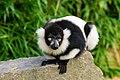 Lemur (26245072809).jpg
