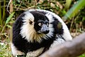 Lemur (26618793777).jpg