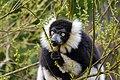 Lemur (26618884427).jpg