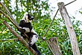 Lemur (36452974740).jpg