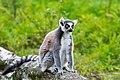 Lemur (36499728453).jpg