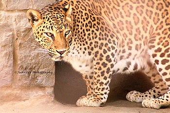 Leopardak.jpg