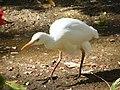 Les oiseaux d'Egypte - panoramio - youssef alam (12).jpg