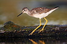 Lesser Yellowlegs.jpg