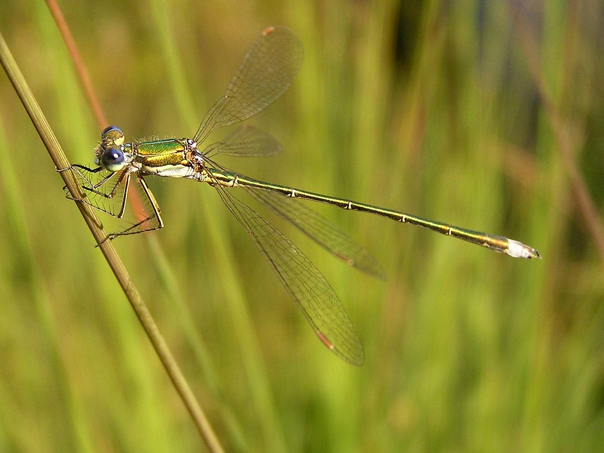 the taxonomy and distribution of dragonflies Odonata of india (wwwindianodonata in insect taxonomy, species revisions are inevitable recently, bedjanic and colleagues revised all species in the family platystictidae -mitra et al (2010) the status and distribution of dragonflies and damselflies (odonata.