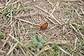 Licaena phaleas, Leptiri, parkovi u Nišu, Srbija (7).jpg