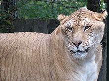 Tigre de 3 m dans TIGRE 220px-Ligre_-_Redimensionnement