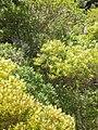 Ligustrum lucidum W.T.Aiton (AM AK289263-2).jpg
