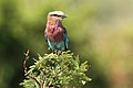 Lilac-breasted Roller, Coracias caudatusat Pilanesberg National Park, Northwest Province, South Africa (17482999241).jpg