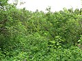 Lilac grove, Dykanskyi Landscape Park (10.05.19) 07.jpg